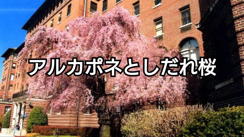アルカポネとしだれ桜